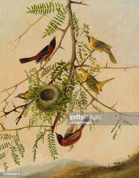Orchard Oriole, 1830/1832. Artist Joseph Bartholomew Kidd. .