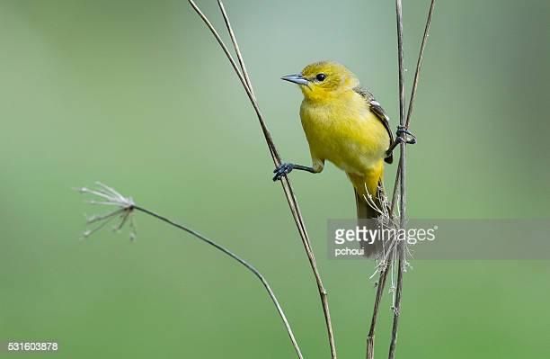 Pomar Corrupião, icterícia Spurius, Pássaro fêmea empoleirar-se na Primavera