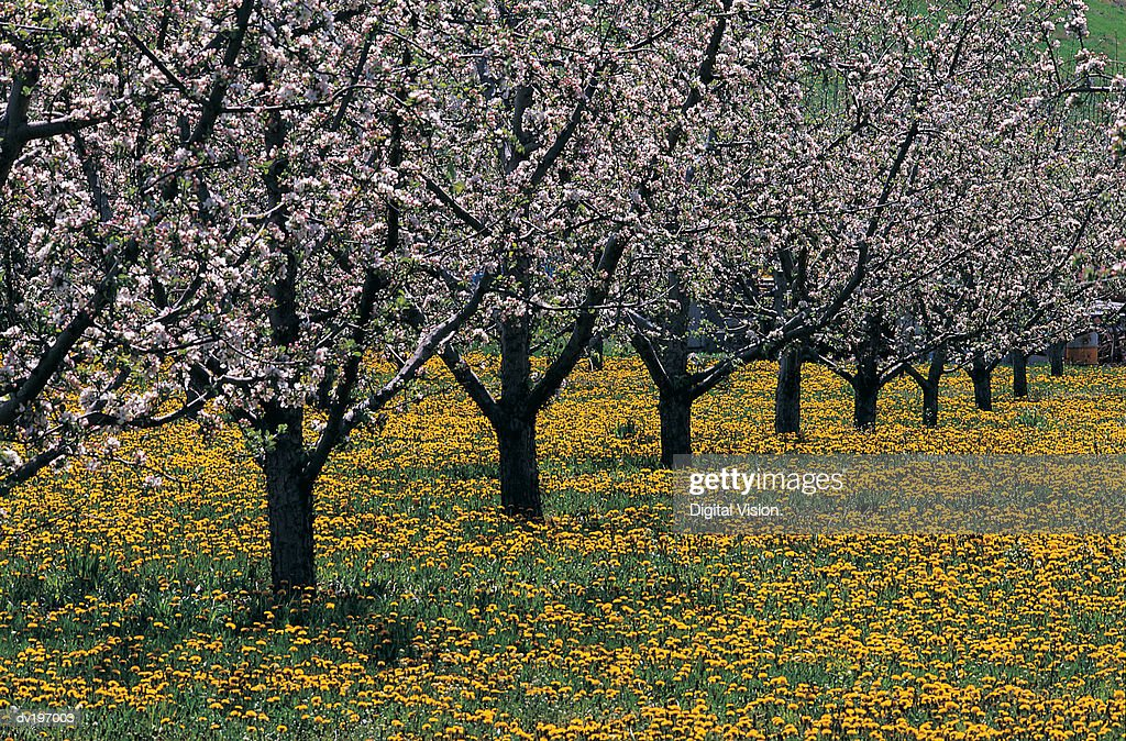 Orchard : Stock Photo