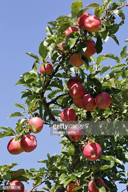 Orchard Tree with ripe Gala Apples (Malus sylvestris)