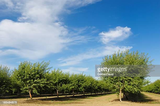 Vista de Orchard Ripening tuercas de almendras