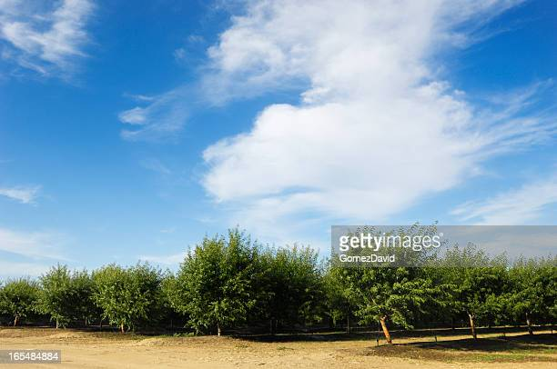 orchard view of ripening almond nuts - unripe stock photos and pictures