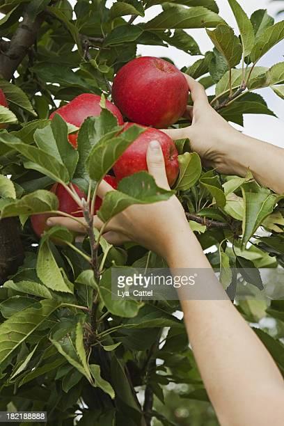 Orchard # 62 XXL