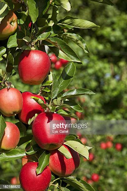 Orchard # 64 XXXL