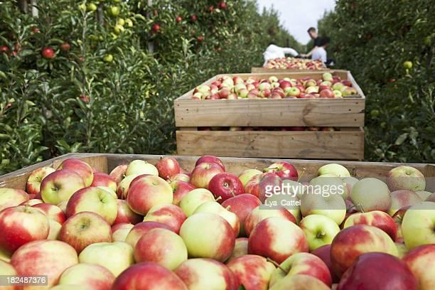 Orchard # 88 XXXL