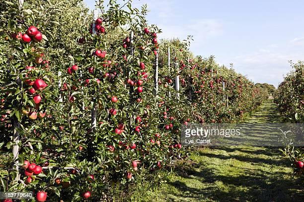 Orchard # 116 XXXL