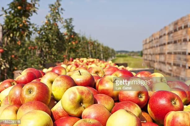 Orchard # 126 XXXL