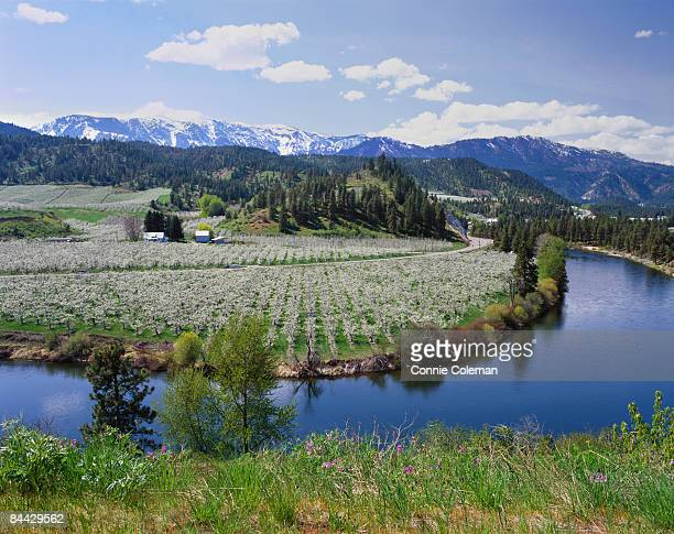 orchards in bloom in the spring. - leavenworth washington stock photos and pictures