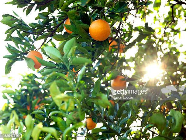 orchards - orange grove stock photos and pictures