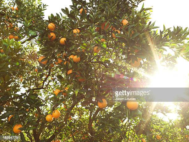 orchards - orange orchard stock photos and pictures