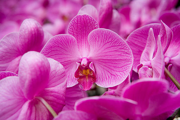 Orchid ( Orchidaceae) at Flower Market, Kowloon, Hong Kong, China, North-East Asia