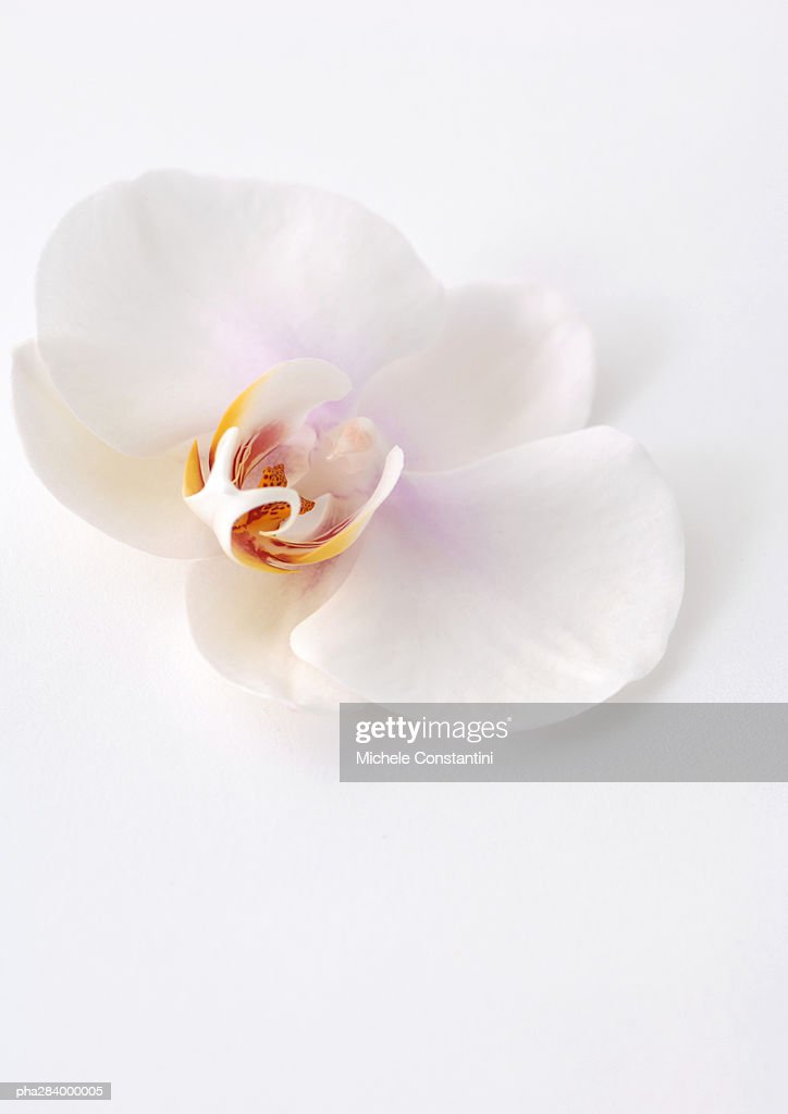 Orchid flower, close-up : Stockfoto