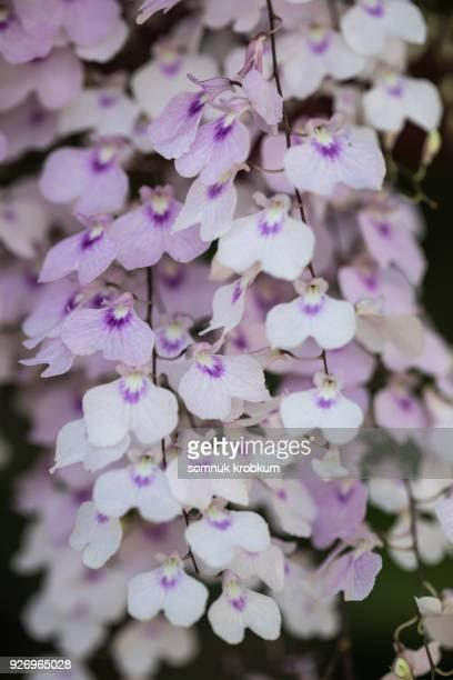Orchid flower in summer;Thailand