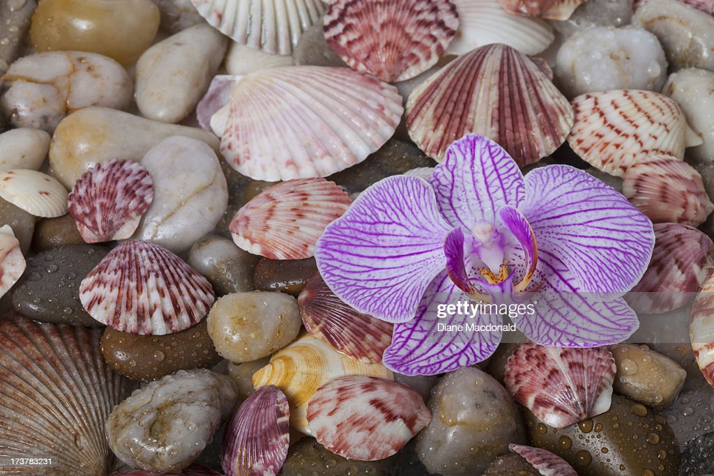 Orchid flower on pebbles and seashells : Stock Photo