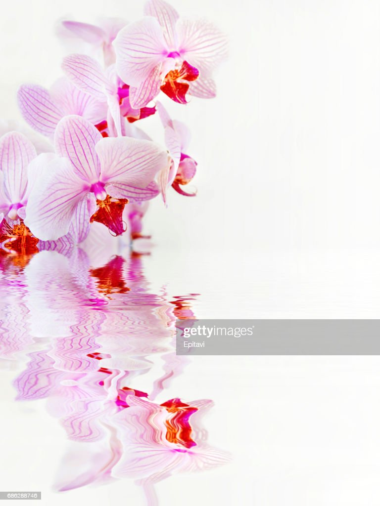 Orchid Flowers On White Background Stock Photo Getty Images