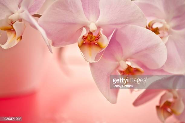 orchid flowers - orchid stock pictures, royalty-free photos & images