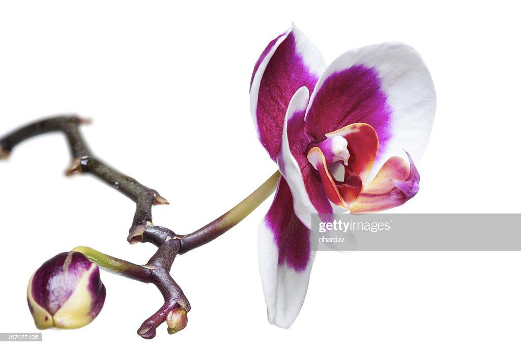 Orchid flowers : Foto de stock