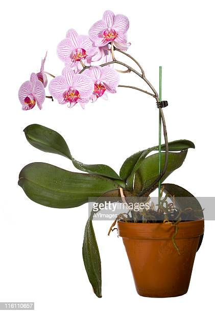 Orchid in clay pot