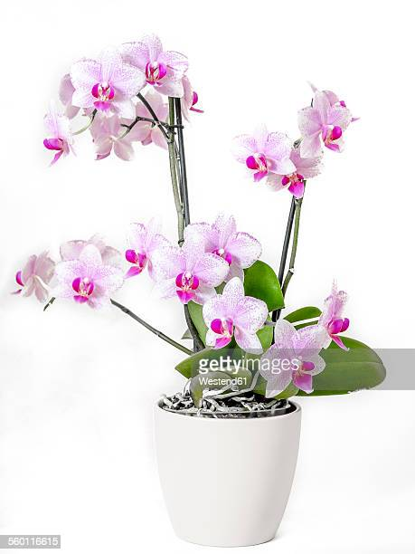 Orchid in flower pot