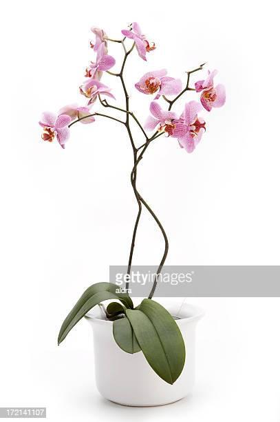 Orchid en flowerpot