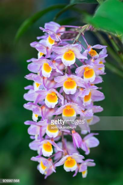 Orchid in Thailand