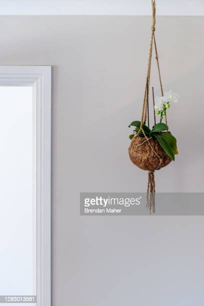 orchid indoor flowering phalaenopsis plant in a coconut husk hanging pot near doorway - hanging basket stock pictures, royalty-free photos & images