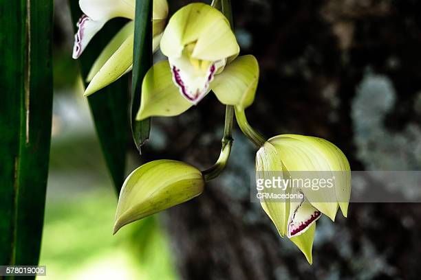 orchid is a beautiful flower - crmacedonio 個照片及圖片檔