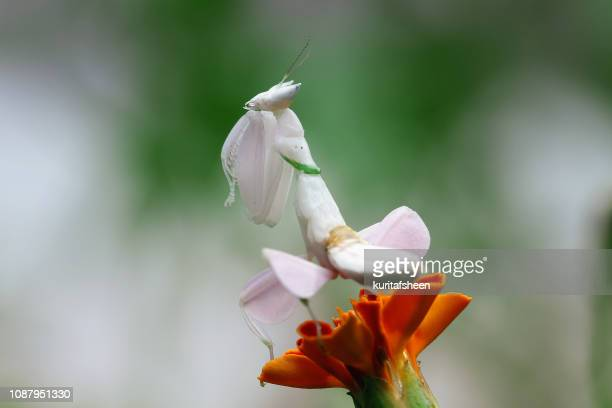 orchid mantis on a flower, indonesia - praying mantis stock photos and pictures