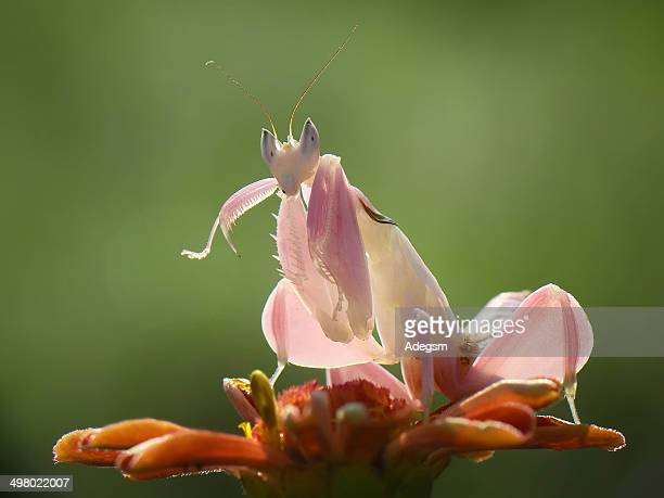 orchid mantis - praying mantis stock photos and pictures