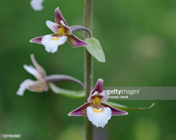 orchid marsh helleborine (epipactis palustris), mala fatra national park, slovakia - moeras stockfoto's en -beelden