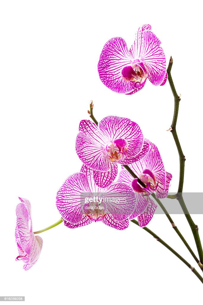 orchid sobre fondo blanco : Foto de stock