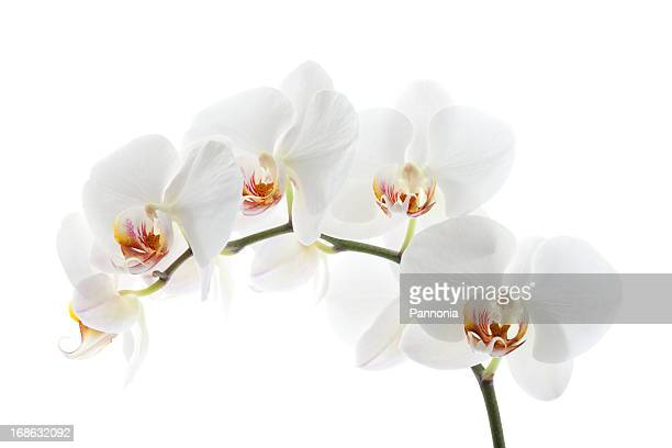 orchid on white - orchid flower stock pictures, royalty-free photos & images