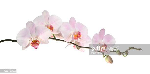 orchid (isolated on white) - orchid flower stock pictures, royalty-free photos & images