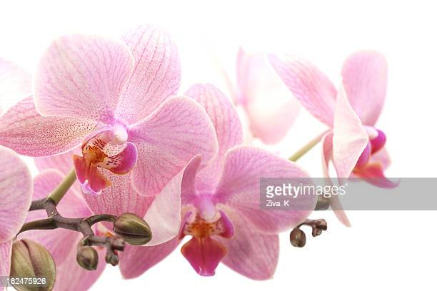 orchid - orchid flower stock pictures, royalty-free photos & images