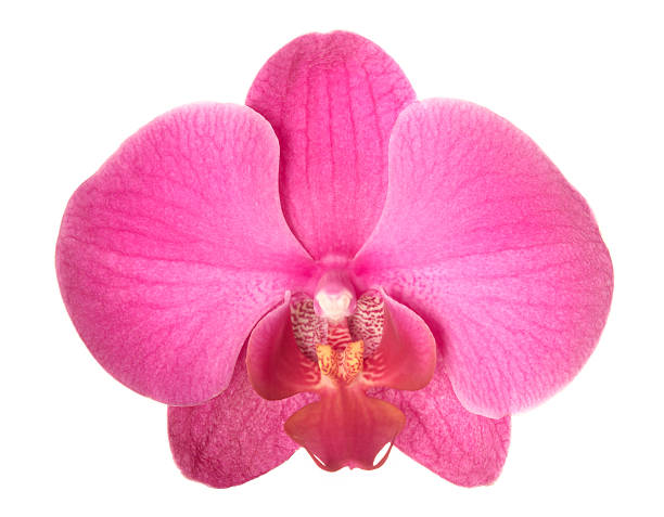 Orchid. Wall Art