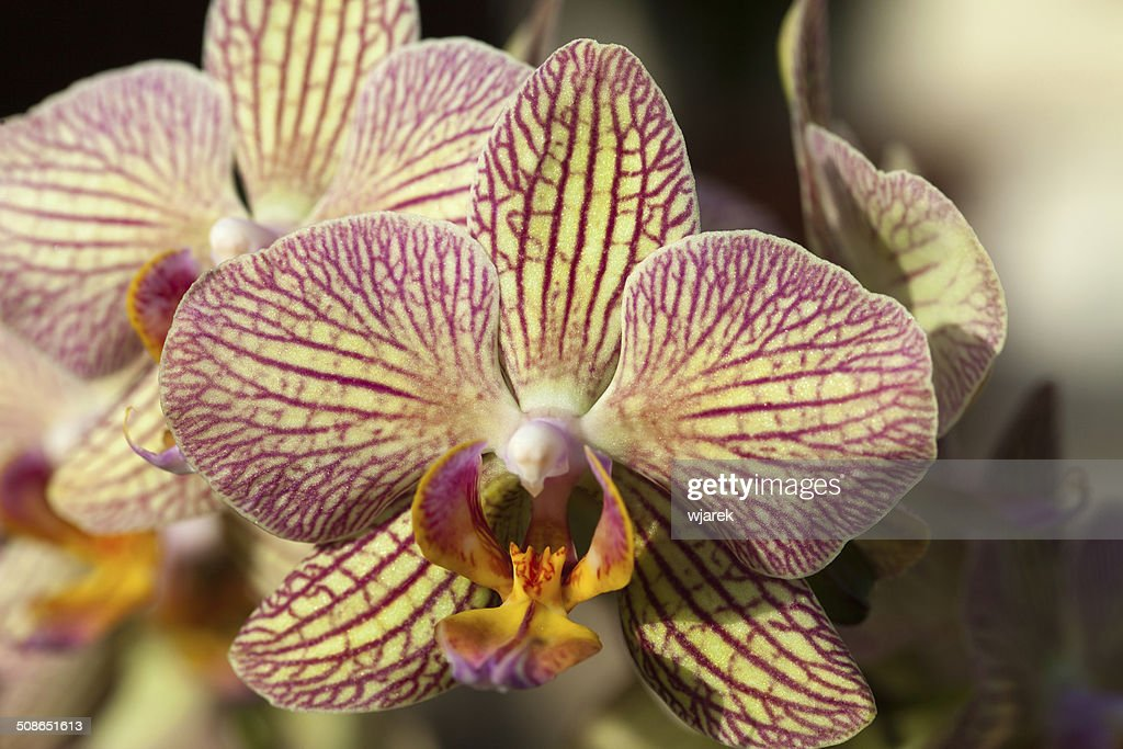 orchid : Stock Photo