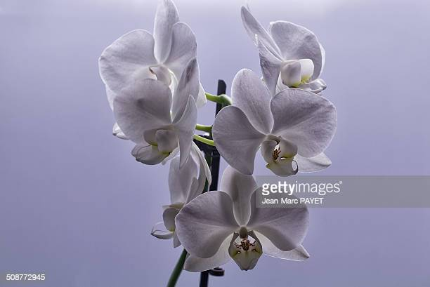 orchid - jean marc payet stock pictures, royalty-free photos & images