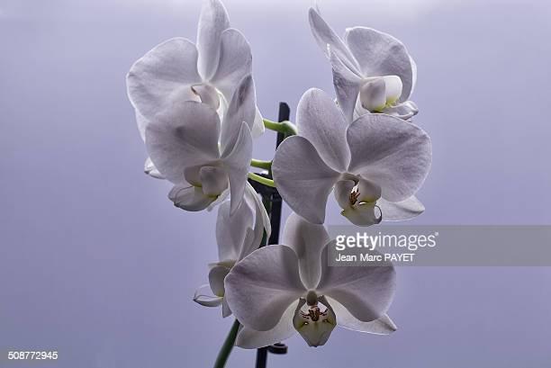 orchid - jean marc payet stockfoto's en -beelden