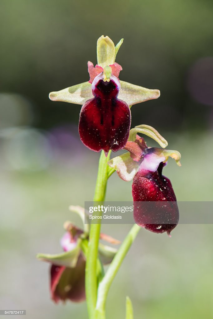 Orchid (Ophrys helenae) : Stock Photo