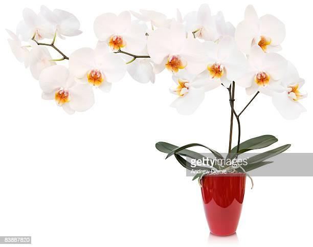orchid - andrew dernie fotografías e imágenes de stock