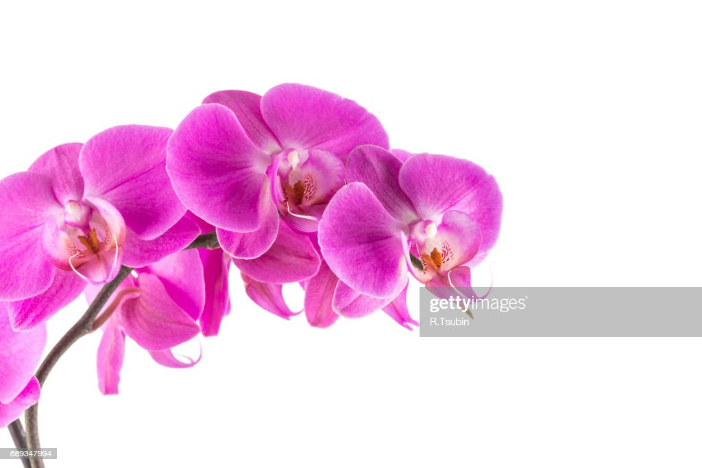 orchid pink flower : Stock Photo