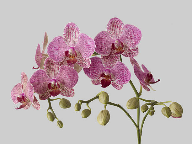 Orchid Plant On Grey Background. Wall Art