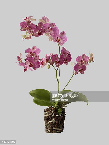 orchid plant on grey background, showing roots.