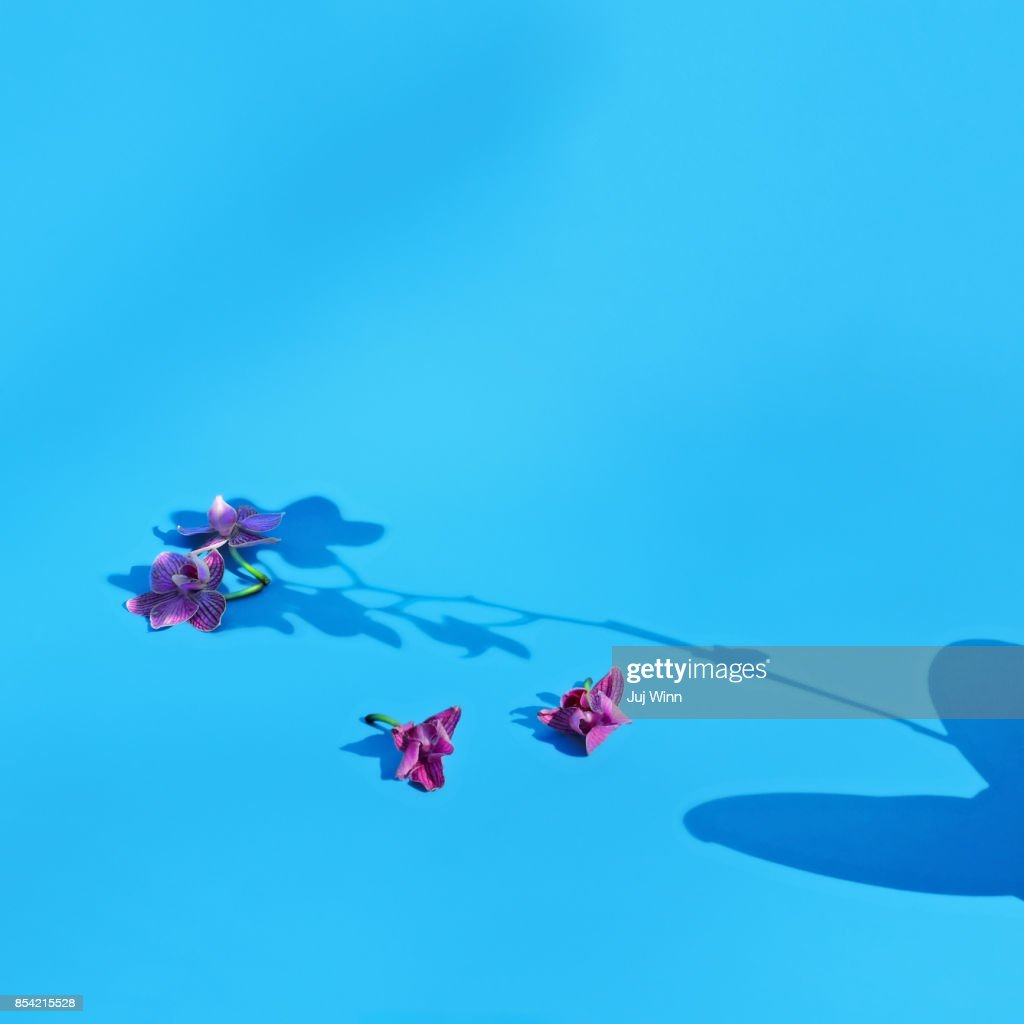Orchid Shadow on Blue Background : Stock Photo