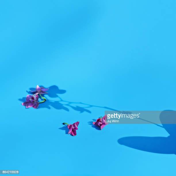 Orchid Shadow on Blue Background