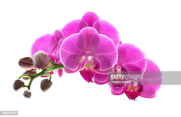 orchid spray - orchid flower stock pictures, royalty-free photos & images