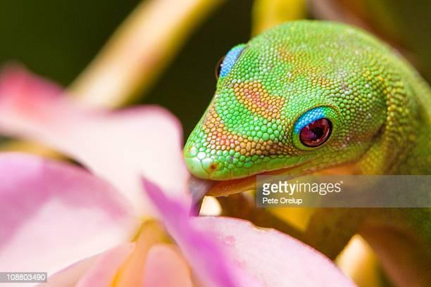 orchid thief #2 - geco foto e immagini stock