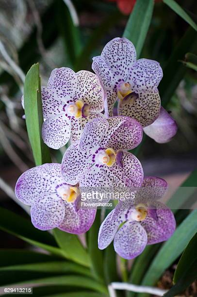Orchid Vanda coerulea cultivar hybrid at the 2011 Orchid Festival in Chiang Mai Thailand Cluster of flowers with purple spotted petals