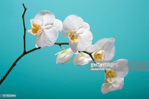 Orquídea XXL
