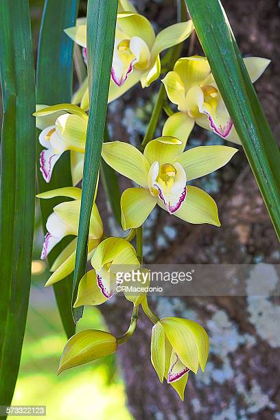 orchidaceae - crmacedonio stock pictures, royalty-free photos & images